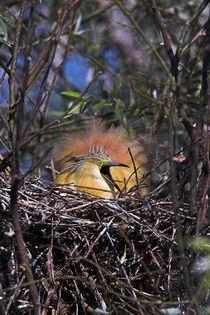 Squacco Heron in the Danube Delta by Danita Delimont