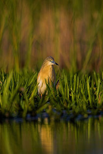 Squacco Heron in the Danube Delta by Danita Delimont