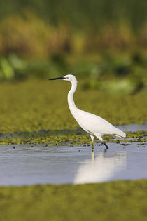 Little Egret in the Danube Delta by Danita Delimont