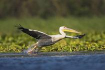 Great White Pelican Danube Delta von Danita Delimont