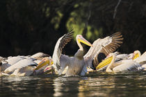Great White Pelican Danube Delta by Danita Delimont