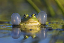 Edible Frog in the Danube Delta, Romania by Danita Delimont