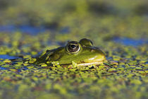 Edible Frog in the Danube Delta, Romania von Danita Delimont