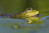 Edible Frog in the Danube Delta, Romania by Danita Delimont