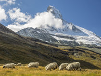 Switzerland, Zermatt, Schwarzsee, Valais Blacknose Sheep wit... von Danita Delimont