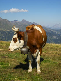 Switzerland, Bern Canton, Mannlichen area, Swiss cow in alpine setting by Danita Delimont