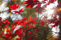 Japanese Maple in Autumn color, Westonbirt, Gloucestershire,... by Danita Delimont