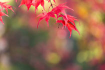 Japanese Maple in Autumn color, Westonbirt, Gloucestershire,... von Danita Delimont