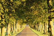 Avenue of trees, Gloucestershire, England, UK von Danita Delimont