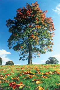 Autumn tree, Lake District, England, UK by Danita Delimont