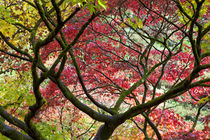 Autumn leaves, Westonbirt Arboretum, Gloucestershire, England, UK by Danita Delimont