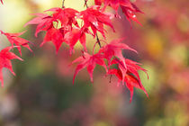 Japanese Maple Trees and Leaves Westonbirt Arboretum, Glouce... by Danita Delimont