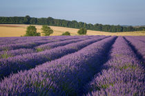 Rows of lavender near Snowshill, the Cotswolds, Gloucestersh... by Danita Delimont