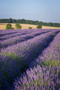 Rows of lavender near Snowshill, the Cotswolds, Gloucestersh... von Danita Delimont