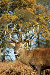 The King's Deer, red deer stags or bucks of Richmond Park, L... von Danita Delimont