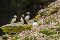 Europe, Scotland, Shetland Islands by Danita Delimont