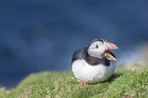 Atlantic Puffin Hermaness, Shetland by Danita Delimont