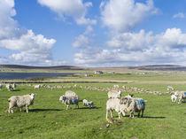Island of Unst, landscape near Baltasound, Shetland Inseln, UK von Danita Delimont
