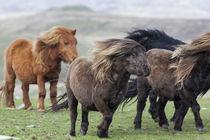 Shetland Pony, Shetland Islands, Scotland von Danita Delimont