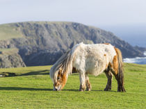 Shetland Pony, Shetland Islands, Scotland by Danita Delimont
