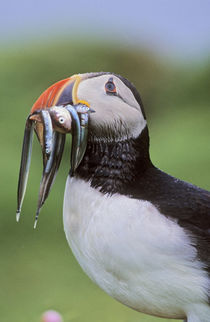 Papageitaucher auf Fair Isle von Danita Delimont