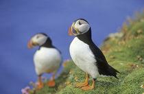 Papageitaucher auf Shetland von Danita Delimont