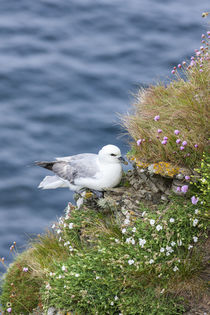 Northern Fulmar, Scotland by Danita Delimont