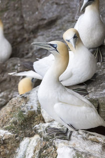 Northern Gannet, Shetland Islands, Scotland by Danita Delimont