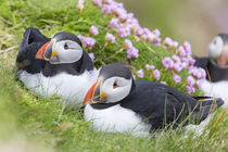 Atlantic Puffin by Danita Delimont