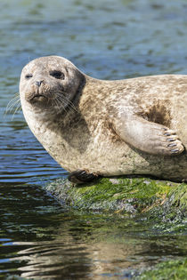Harbor Seal Shetland Islands, Scotland von Danita Delimont