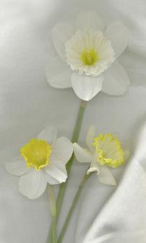 Daffodil still life von Danita Delimont
