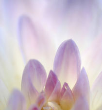 Dahlia Abstract by Danita Delimont