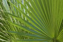 Detail of Palm Tree Frond von Danita Delimont