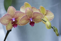 Orchid von Danita Delimont