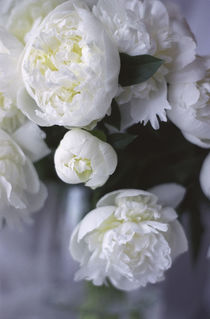 White Peonies in a Vase by Danita Delimont