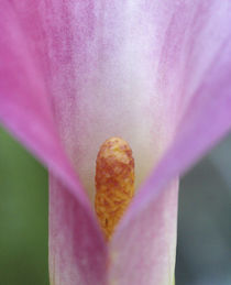 Pink Calla Lily Close-up by Danita Delimont