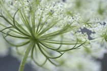 Queen Anne's Lace Bloom. by Danita Delimont
