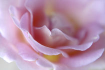 Rose Abstract von Danita Delimont