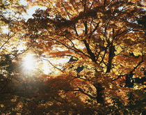 USA, The sun shine through the autumn colors of a large tree. by Danita Delimont