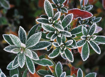 Frosted leaves, close-up von Danita Delimont