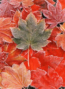Frozen autumn leaves, close-up by Danita Delimont