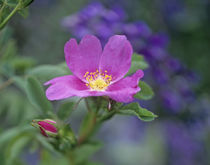Close-up of a Dwarf wild rose. by Danita Delimont