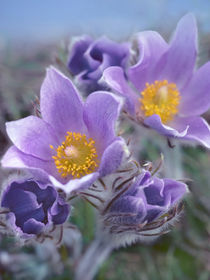 Close-up of Pasque flowers. by Danita Delimont