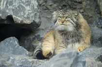 Pallas's Cat, Manul, Asia von Danita Delimont