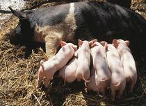 Piglets suckling . by Danita Delimont