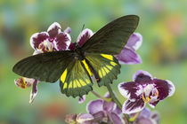 Belus Swallowtail Butterfly, Battus belus Cochabamba on orchard by Danita Delimont