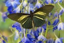Crassus Swallowtail Butterfly, Battus Crassus in the Papilio... by Danita Delimont