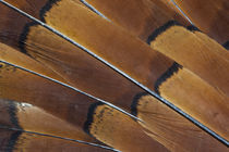 Tail feathers of Cooper Pheasant by Danita Delimont