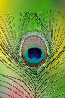 Single male peacock tail feather against colorful background by Danita Delimont
