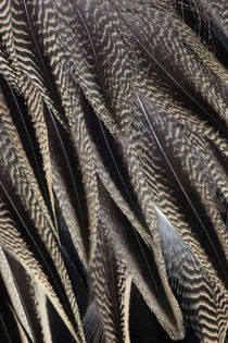 Northern Pintail Feather Detail by Danita Delimont